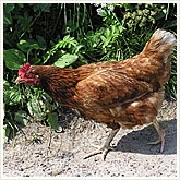 345_chicken_165